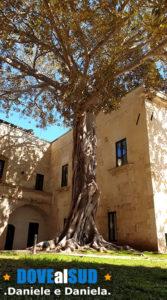 Ficus Gigante Lecce
